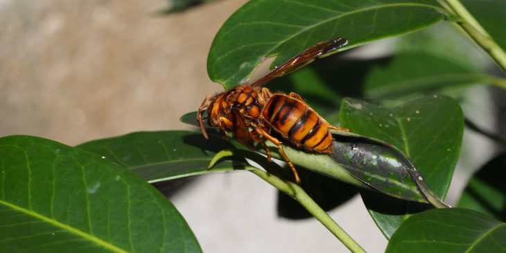 types of wasps: Japanese Yellow Hornet (Vespa Simillima)