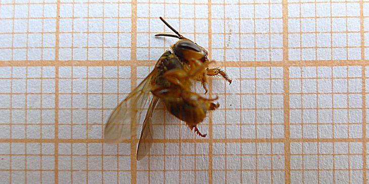 Mandaguari Bee (Scaptotrigona Postica)