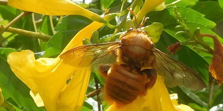 Valley Carpenter Bee (Xylocopa Varipuncta)