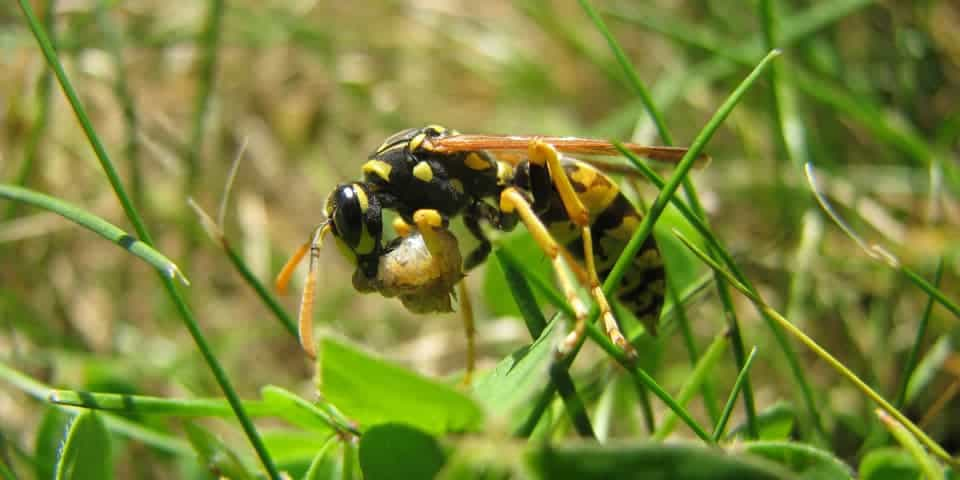 wasp eating caterpillar