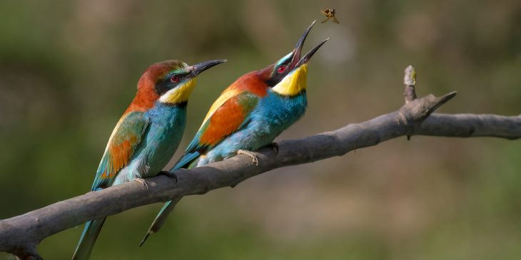 merops apiaster birds eating wasp