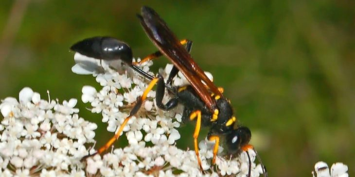 types of wasps: mud dauber sceliphron caementarium