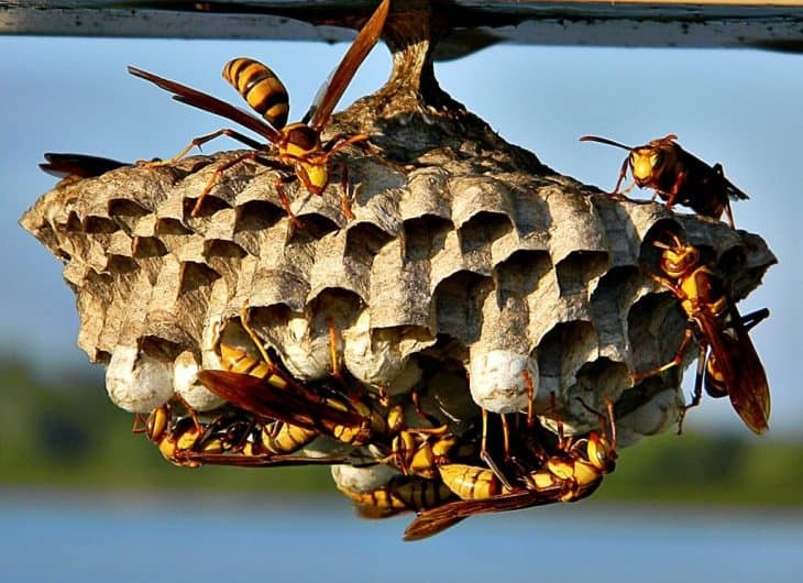 nest of the paper wasp