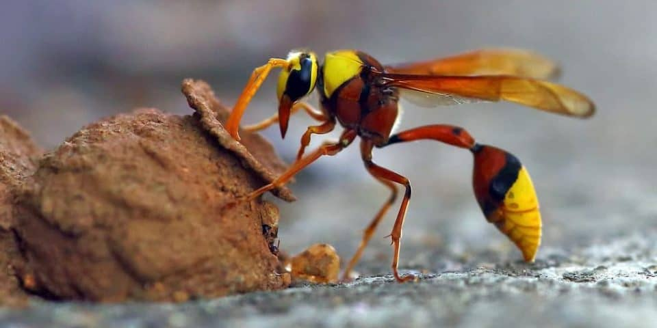 25 Types Of Wasps And Hornets Progardentips