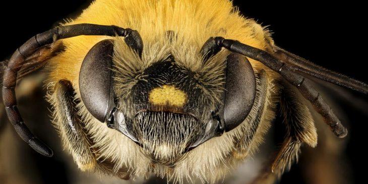 Squash Bee (Peponapis Pruinosa)