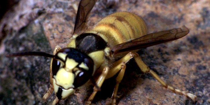 types of wasps: Black Shield Wasp (Vespa Bicolor)