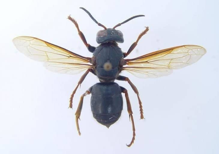 types of wasps: Vespa Luctuosa
