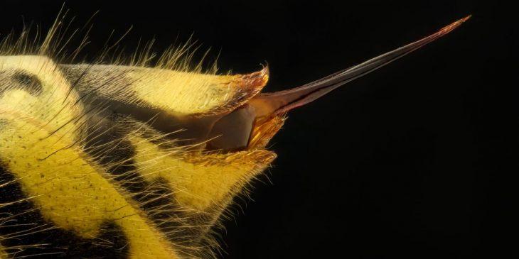 Vespula vulgaris (common wasp) stinger