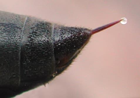 wasp stinger poison