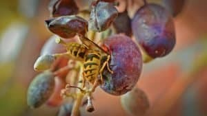 what do wasps do for the environment