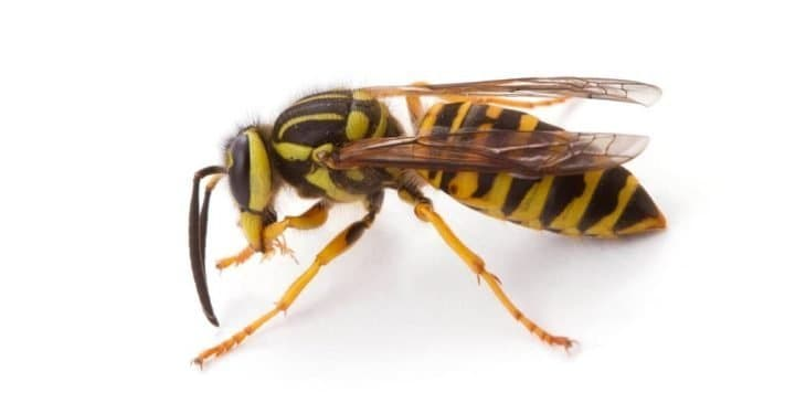 types of wasps: yellow jacket wasp