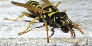 yellow jacket wasp facts