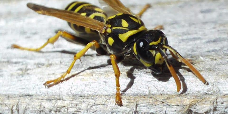 yellow jacket wasp facts