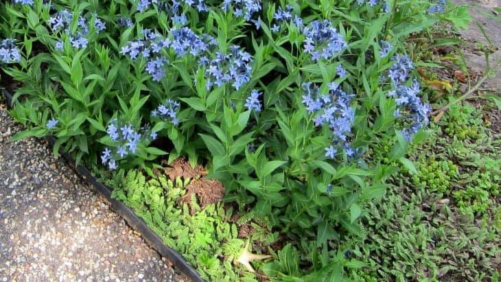 Amsonia blue ice
