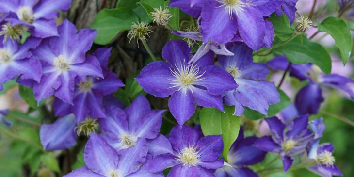 "Clematis ""Brother Stefan"""