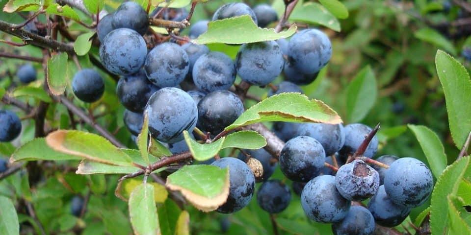 Blackthorn-Sloe-Plum-Tree