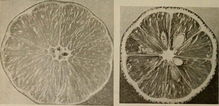 Bonnie Brae Lemon
