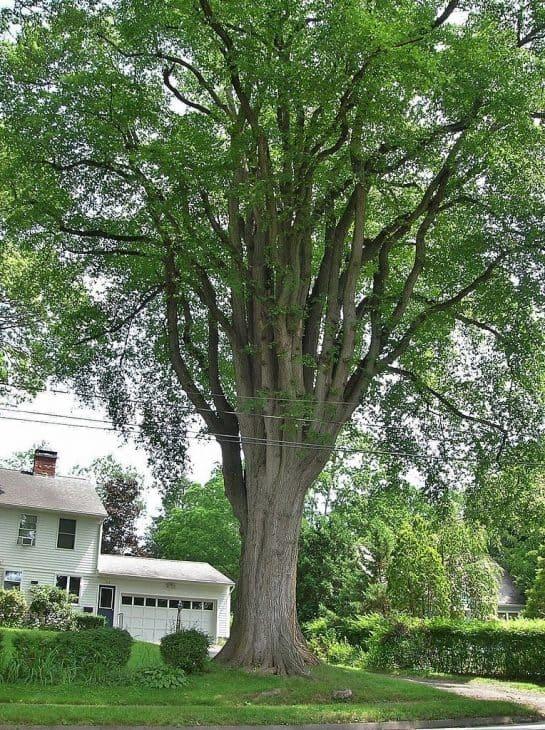 Grayson Elm Tree