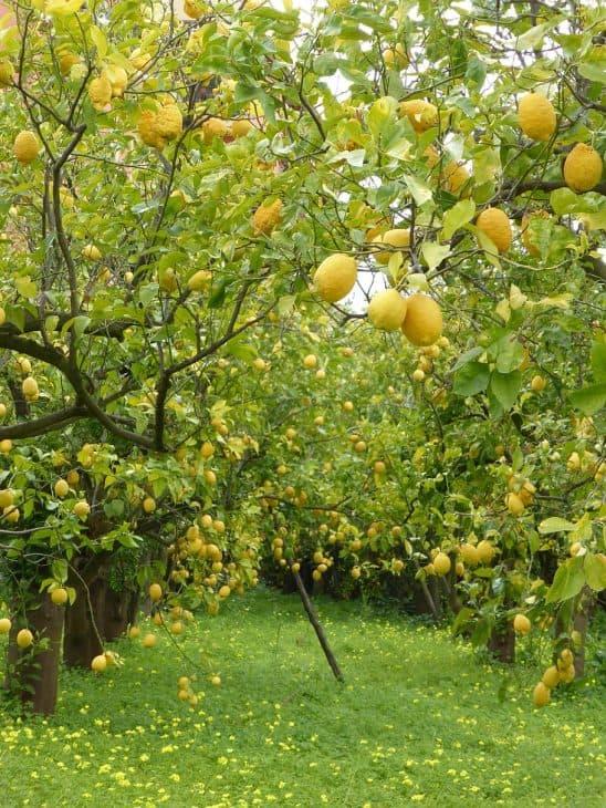 Italian Sorrento Lemons