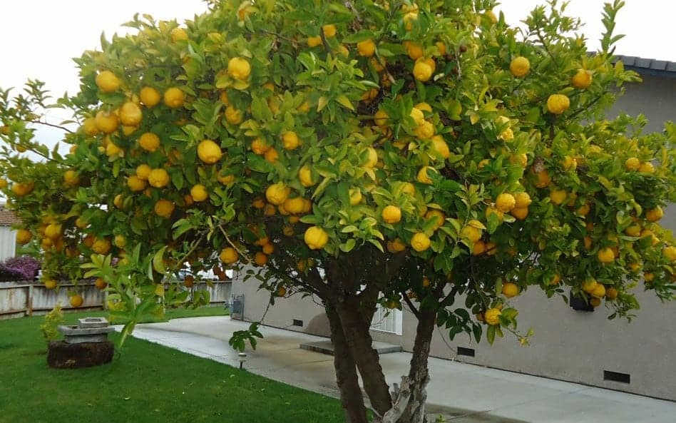 Lemon Tree in Santa Clara California cropped