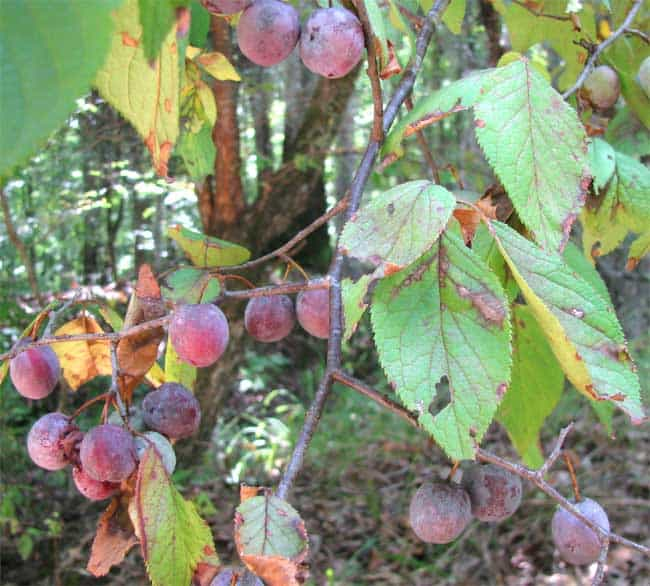 Mexican-Plum-Tree