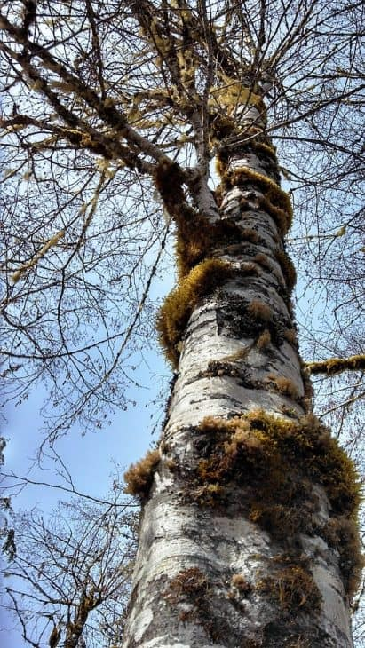 Red alder with moss and lichen