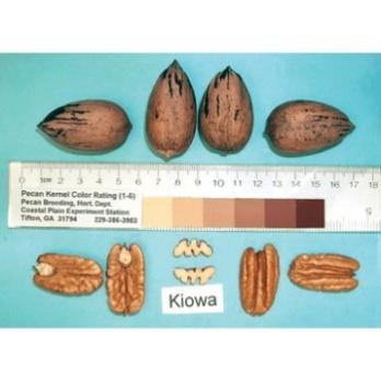 kiowa pecan tree nuts