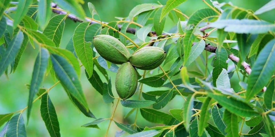 three pecan nuts