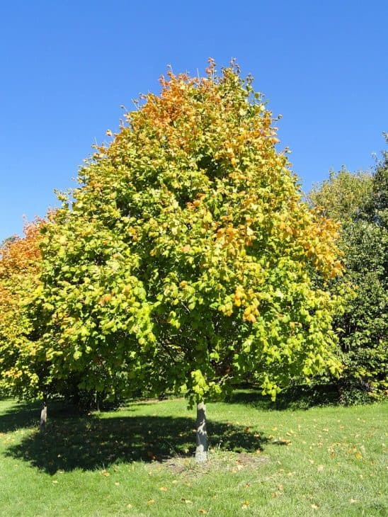 Acer-nigrum-black-maple