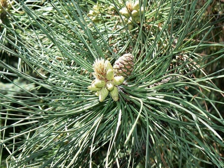 Austrian-Pine-Trees