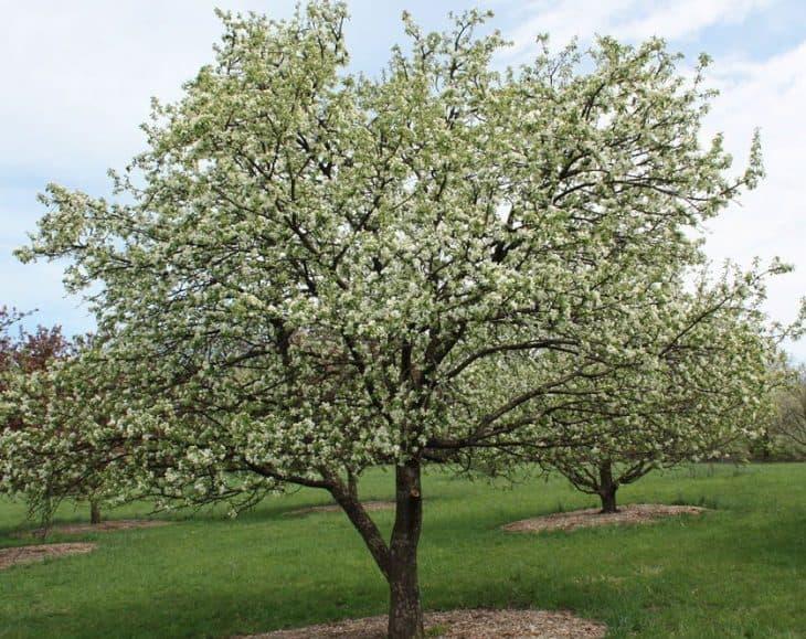 Dolgo-Crabapple-Trees