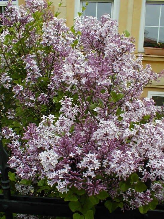 Dwarf-Korean-Lilac-Syringa-pubescens
