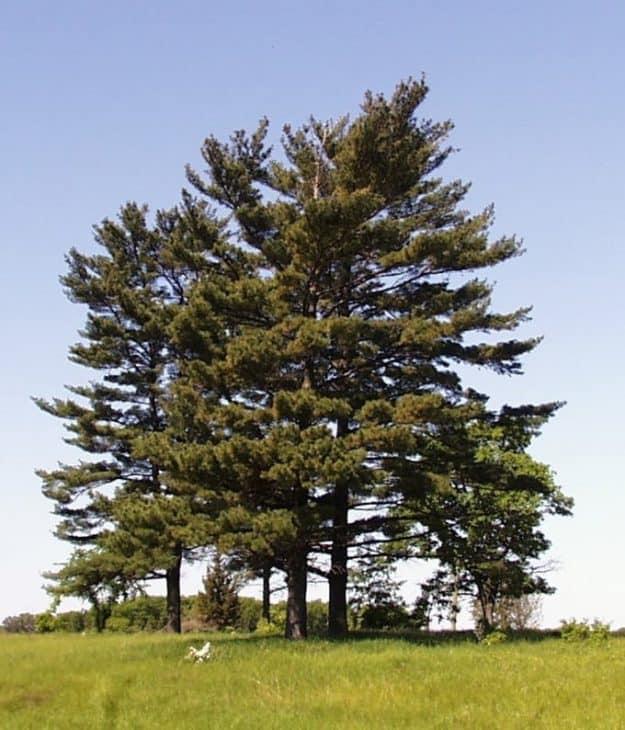 Eastern-White-Pine-Trees-Pinus-strobus