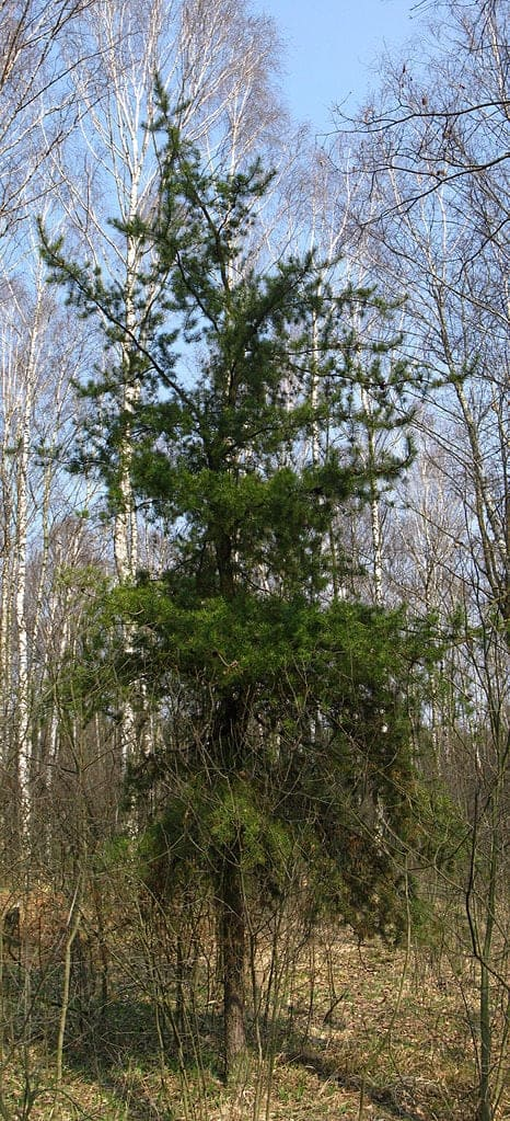 Jack-Pine-Tree-Pinus-banksiana