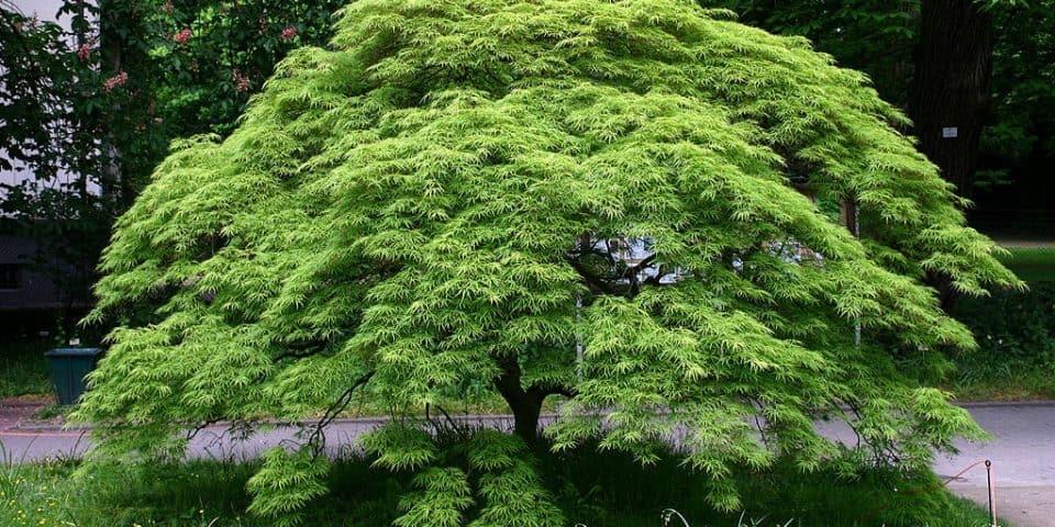 Japanese-maple-Acer-palmatum