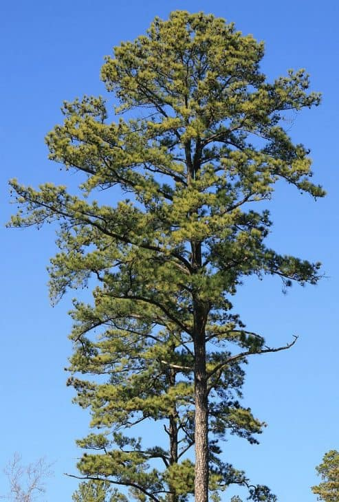 Loblolly-Pine-Trees