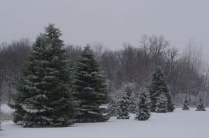 Ohio-Pine-Trees-in-the-snow
