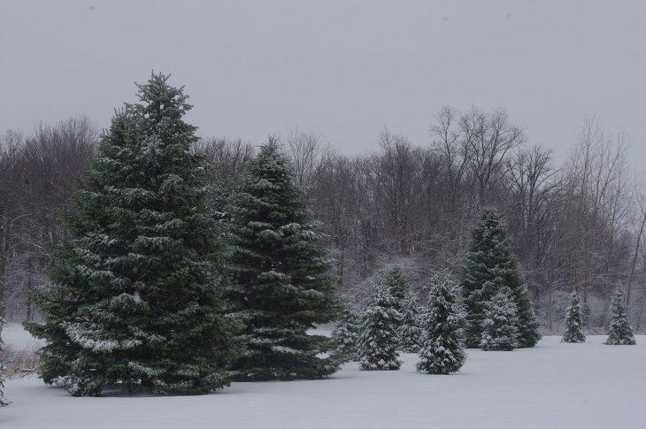 Ohio-Pine-Trees-in-the-snow