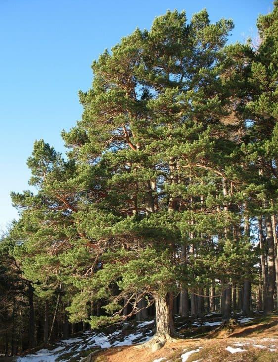 Scotch-Pine-Trees