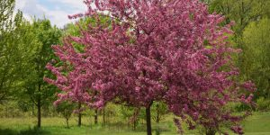 Types-of-Crabapple-Trees-