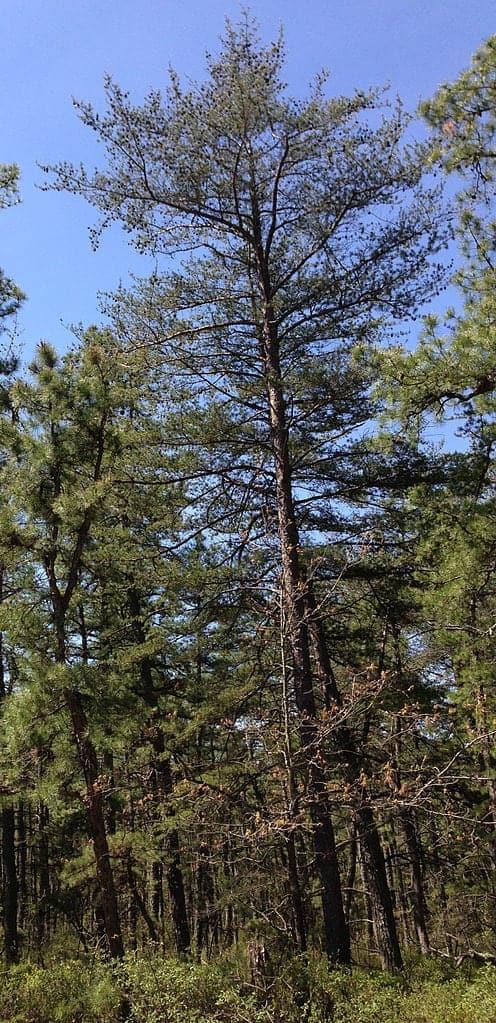 Virginia-Pine-Trees