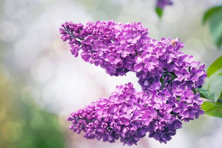 lilac-tree-flowers