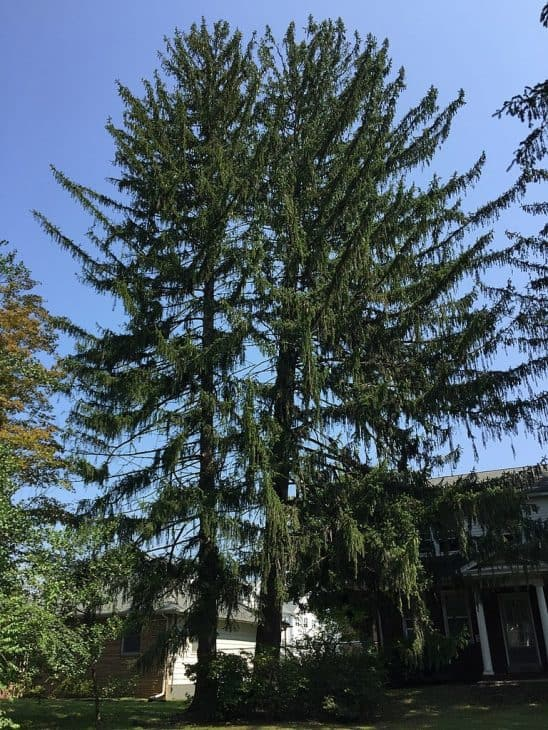 2-Norway-Spruce-Trees