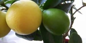 A-Eustis-Limequat