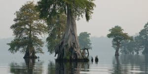 Bald-cypress-trees-Lake-Drummond-at-Great-Dismal-Swamp-National-Wildlife-Refuge-in-Virginia