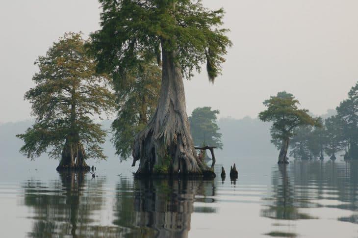 Bald-cypress-trees-Lake-Drummond-at-Great-Dismal-Swamp-National-Wildlife-Refuge-in-Virginia