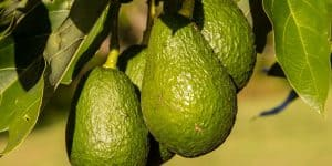 Hass-Avocado-Fruit
