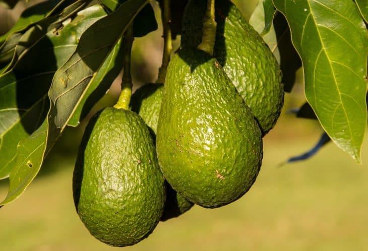Hass-Avocado-Fruit