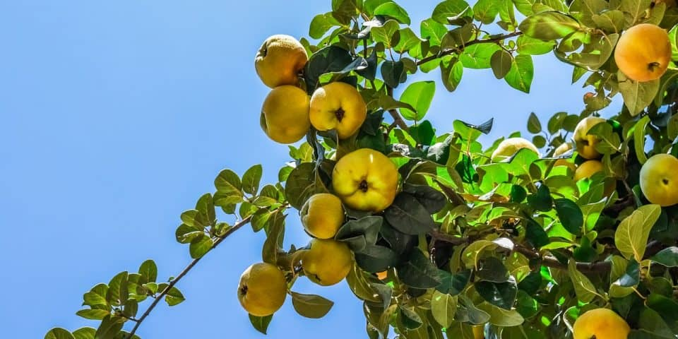 Yellow-Peach-Tree