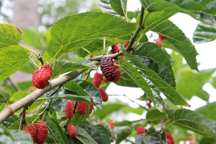 red-mulberry-tree